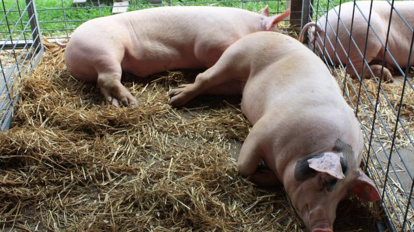 """هل تداول موضع """"الخنازير"""" مُجدداً .. يفتح هذا الملف الشائك ؟!"""