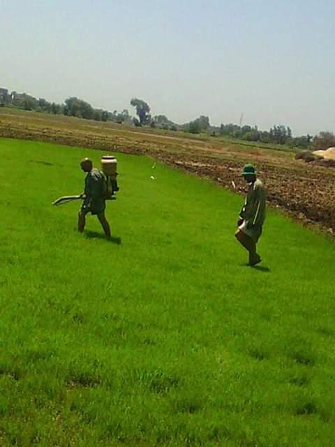 إزالة مشاتل ارز مخالفة بناحية السعديين بالقليوبية